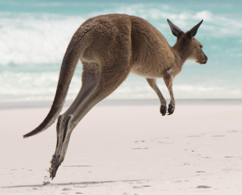 Le majestueux saut du Kangourou - Lucky Bay, Western Australia