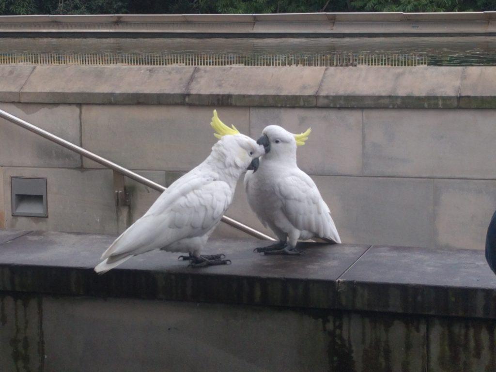 Des cockatooes - C'est beauw!