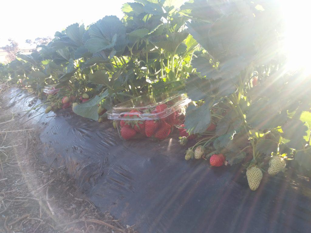 Barquette (ou Pennet) de fraises