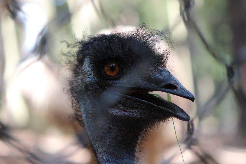 Emeu 1