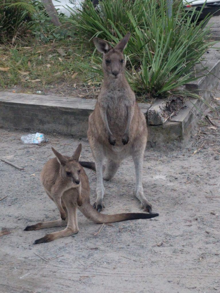 Famille kangourou sur le parking, maman et bébé