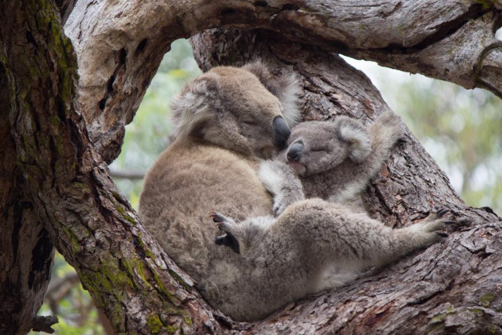 Koala avec bébé