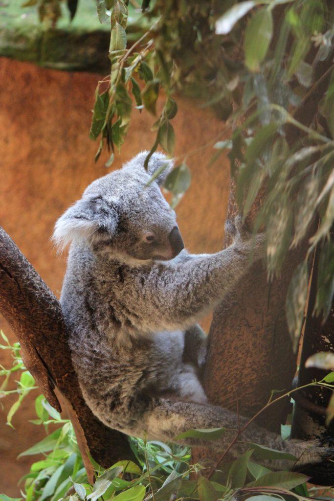 Pauvre Koala..