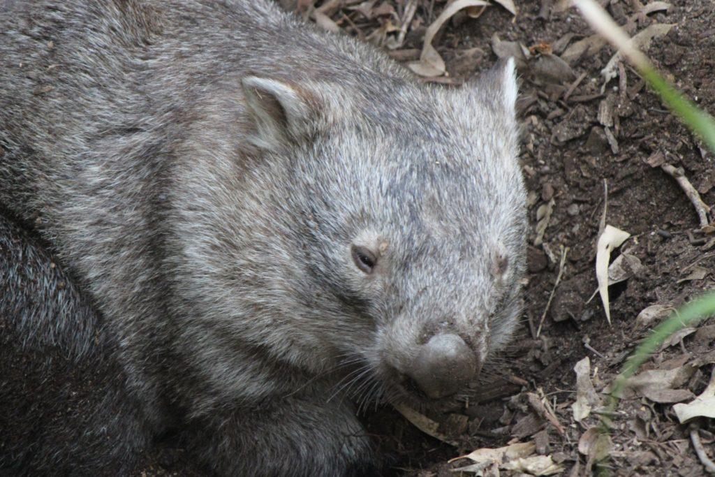 Pauvre Wombat en captivité