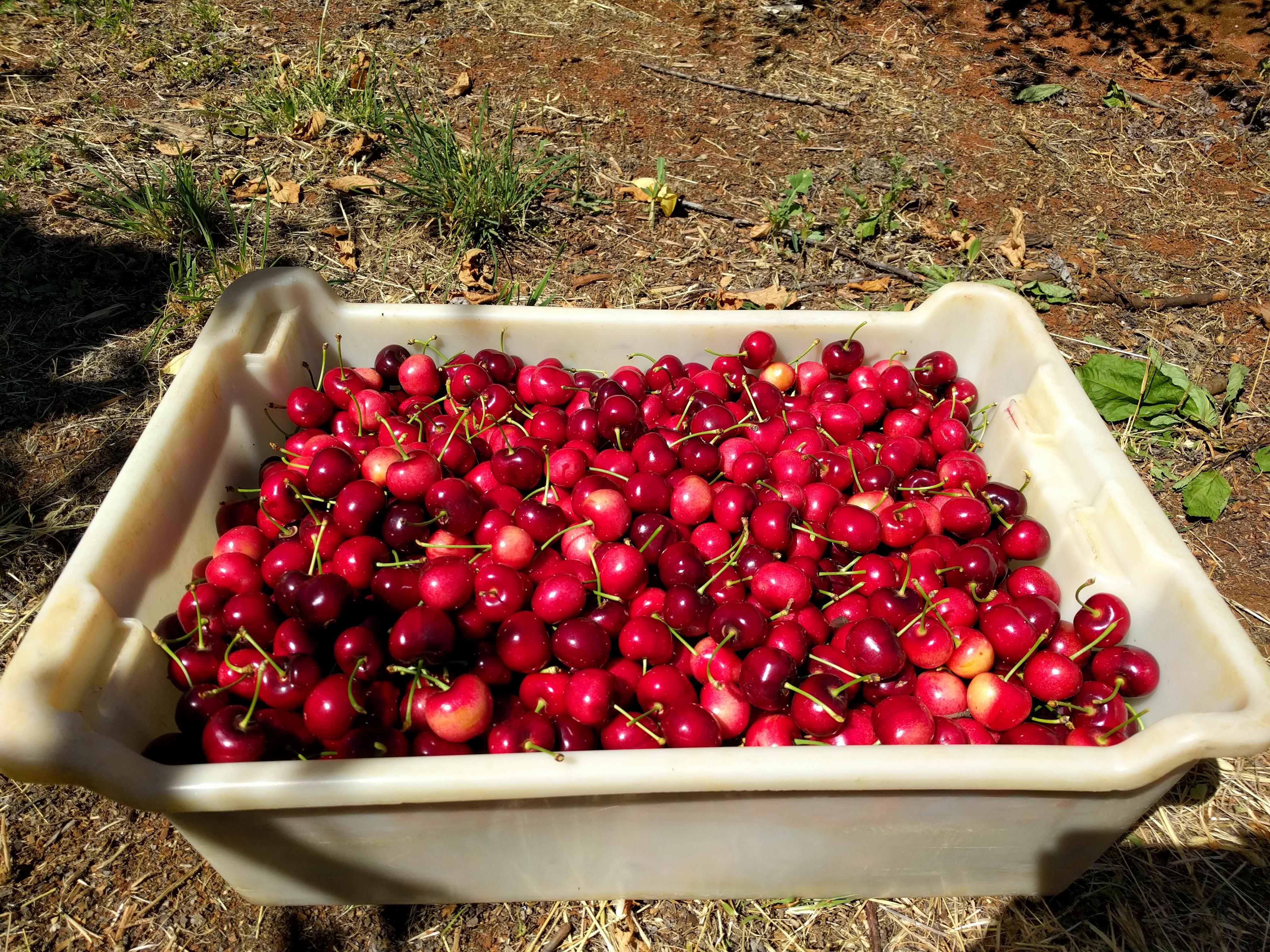Sunburst, une variété de cerises blanches