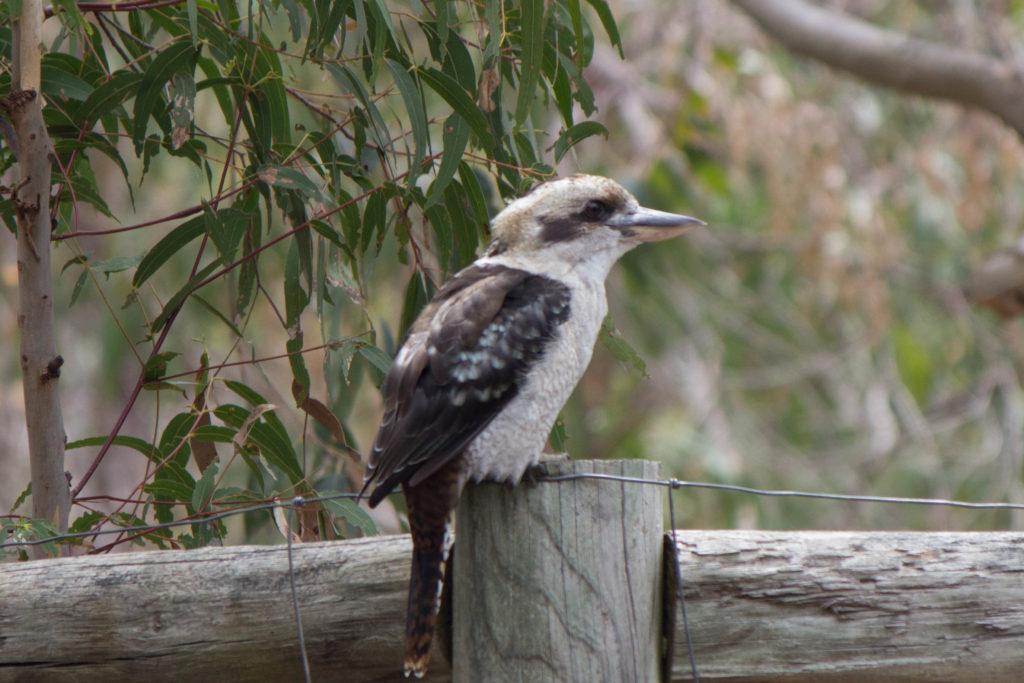 Un kookaburra - Dacelo en Français