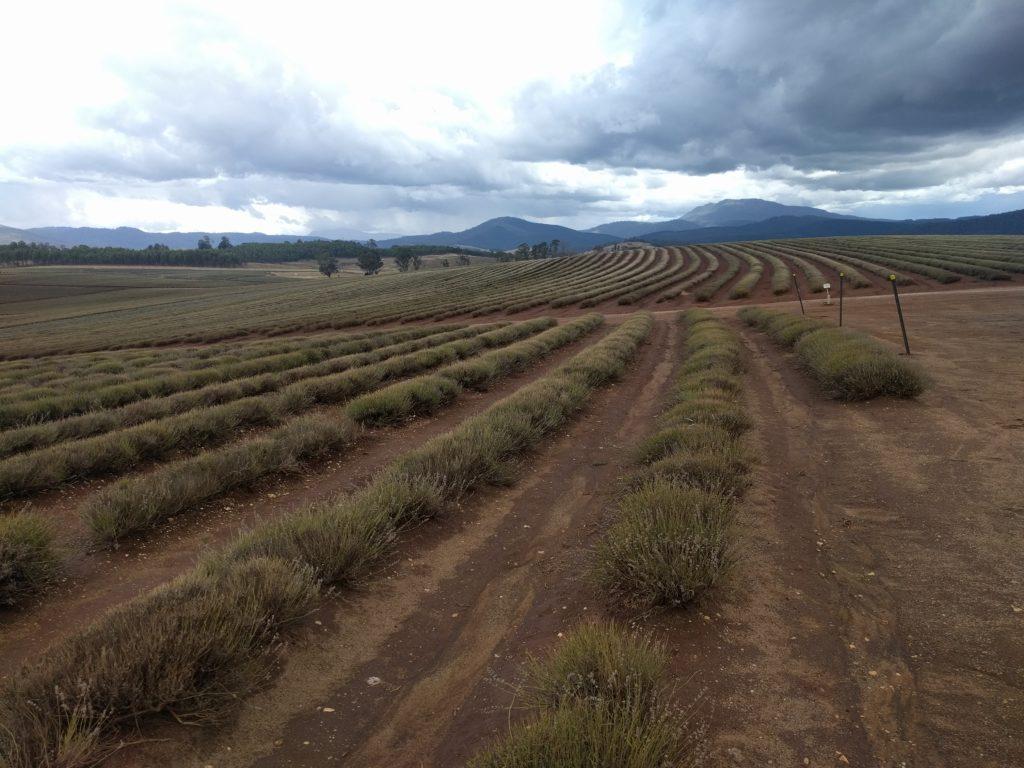 De magnifiques champs de lavande...! On s'attend pas à ça