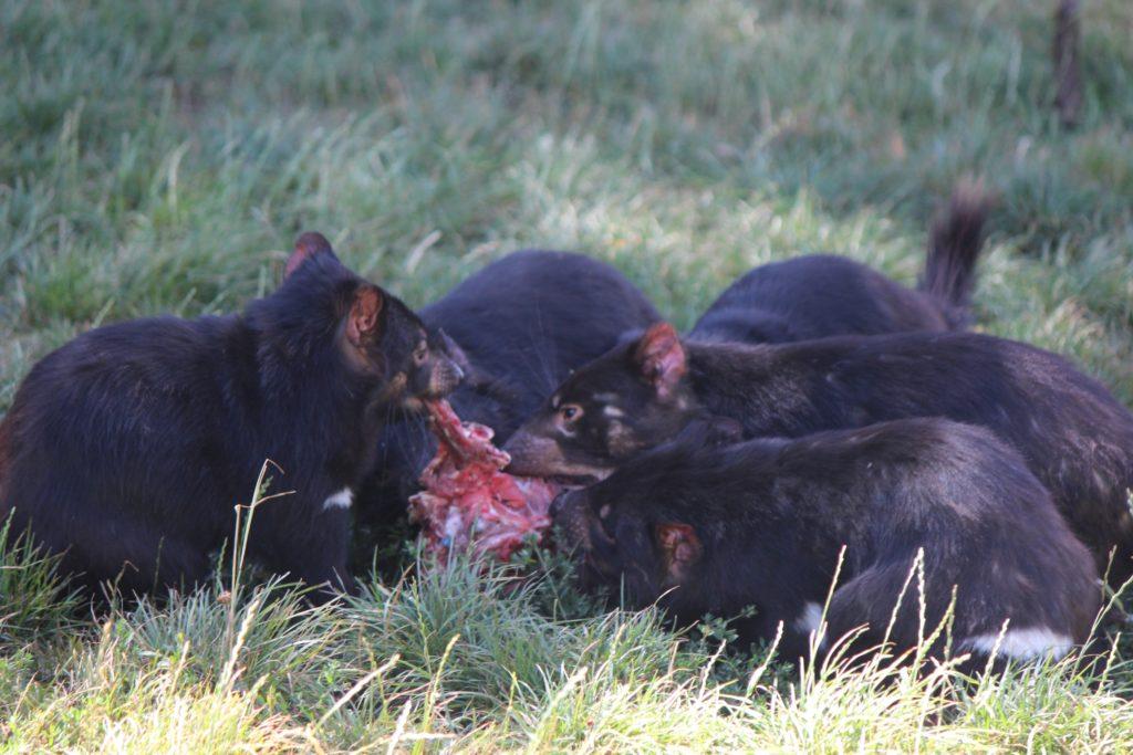 Des diables de Tasmanie se partageant un demi-wallaby