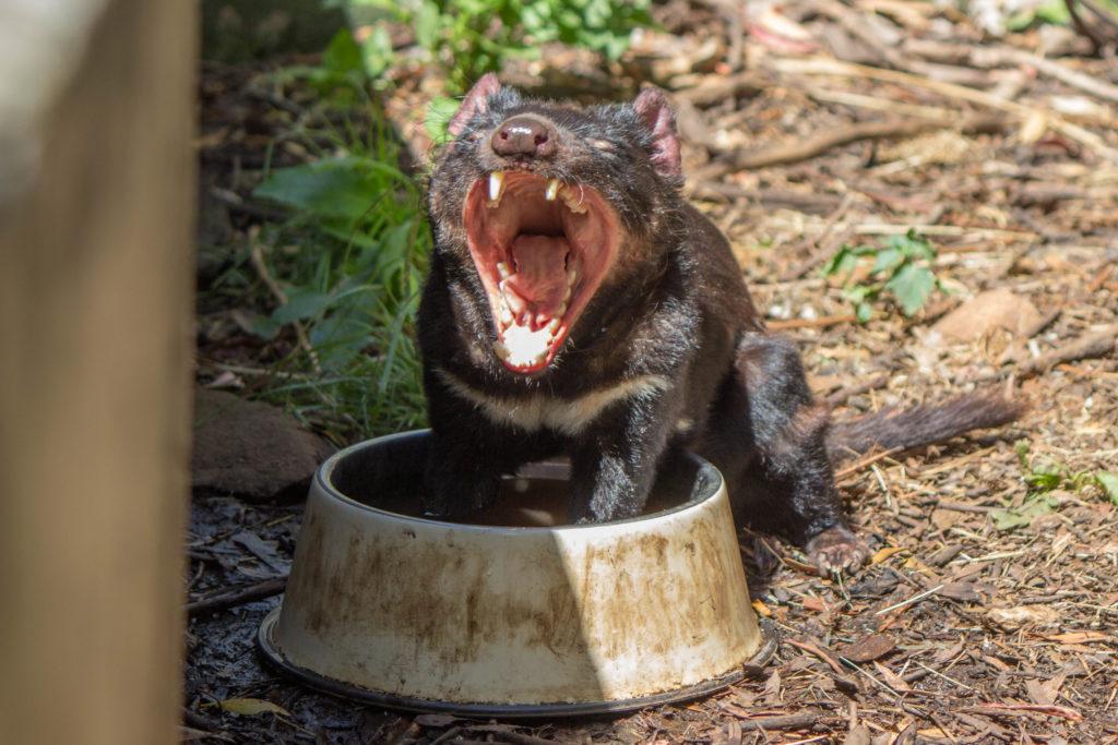 Diable de Tasmanie la gueule ouverte, les deux pattes dans la gamelle d'eau