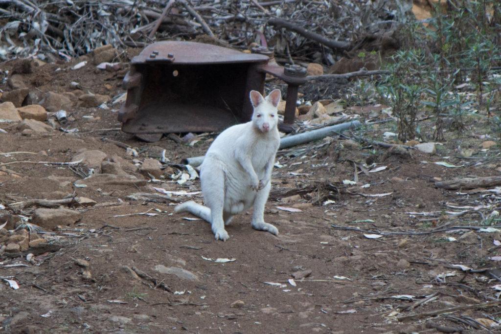 Le fameux wallaby blanc