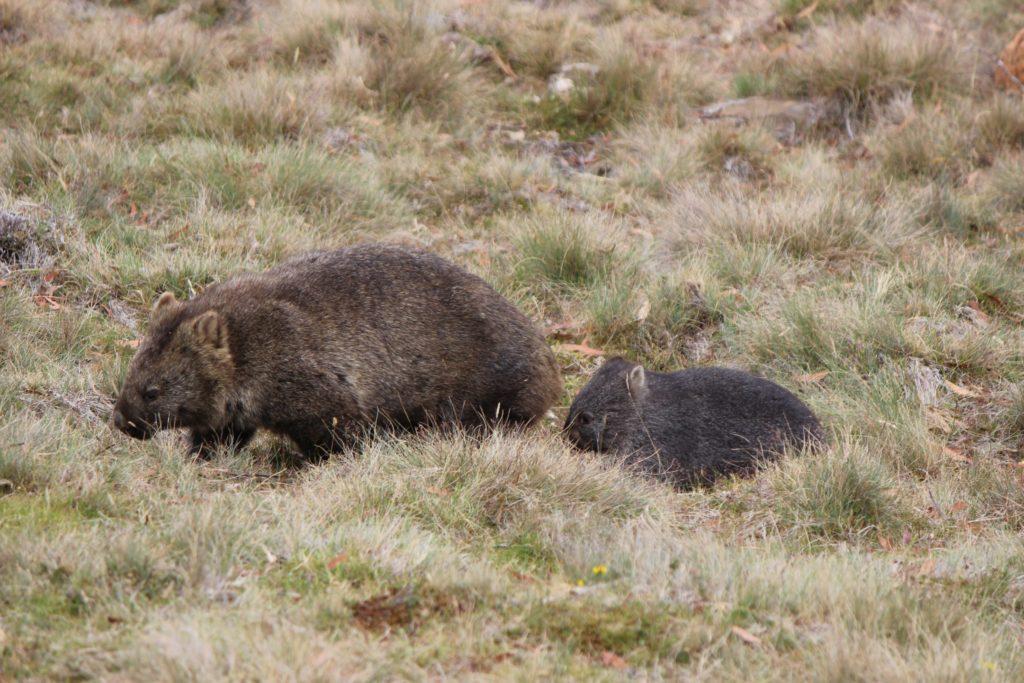 Maman Wombat et son bébé