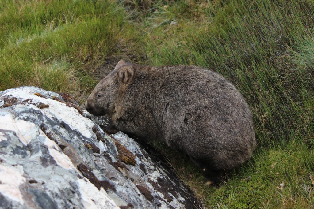 Womby le Wombat