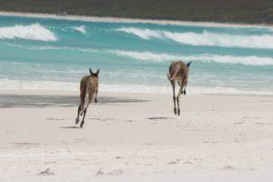 Vos deux kangourous en vadrouille