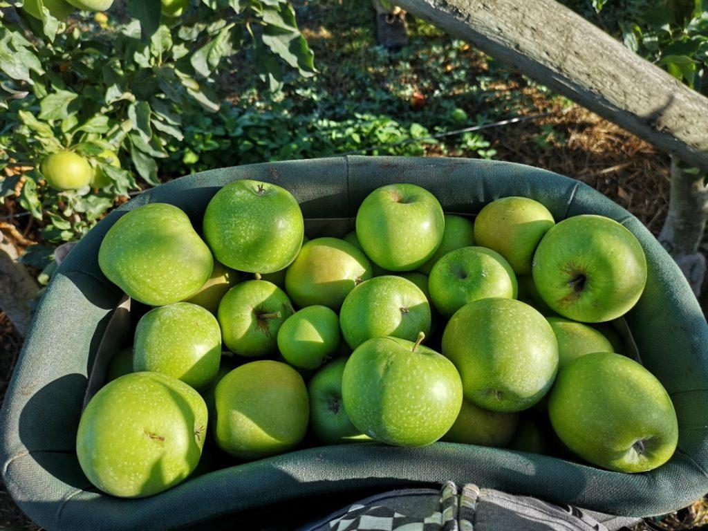 Un seau rempli de pommes - Env. 20kg