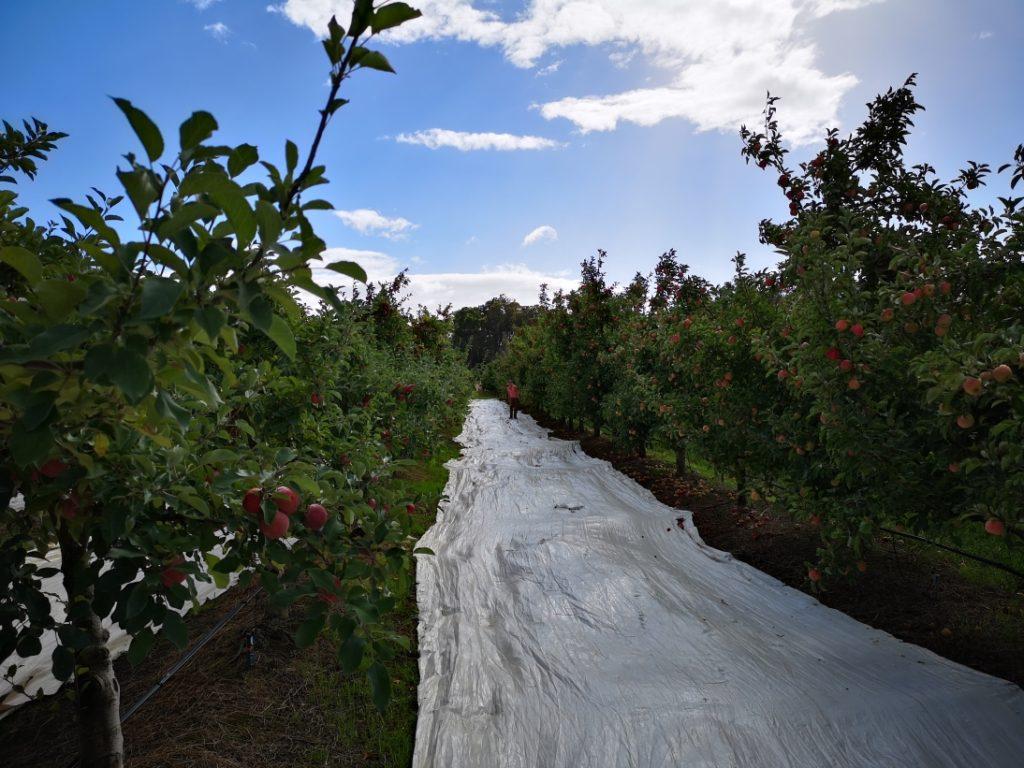 Pour les Fuji et les Pink Ladies, il y avait des bâches dans les allées pour que le soleil se reflète mieux et que les pommes mûrissent plus vite