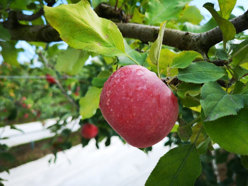 Une pomme Fuji sur l'arbre