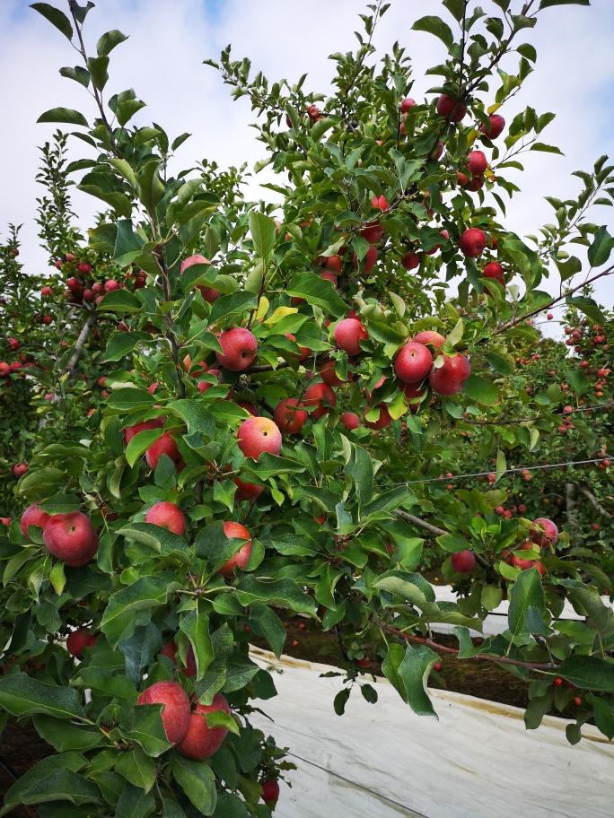 Une branches pleine de pommes Fuji