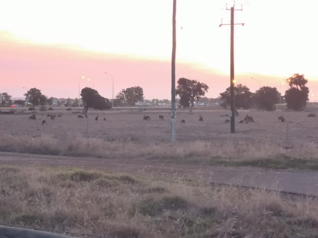 A la tombée de la nuit, les kangourous sont de sortie