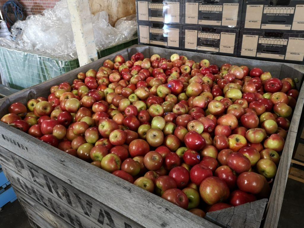 Une caisse de pommes Fuji lavées et triées