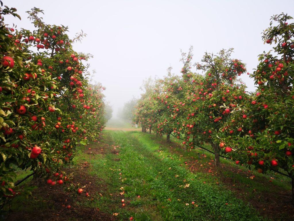 Les arbres de Pink Ladies par un matin brumeux