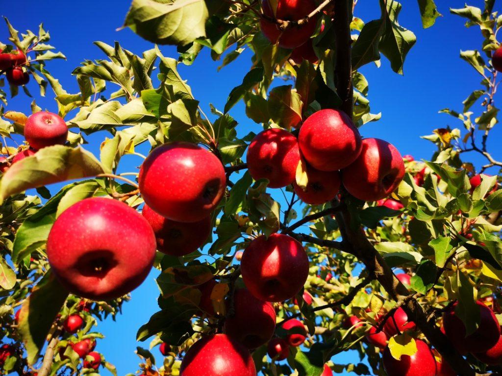 La dernière variété de pommes cueillies