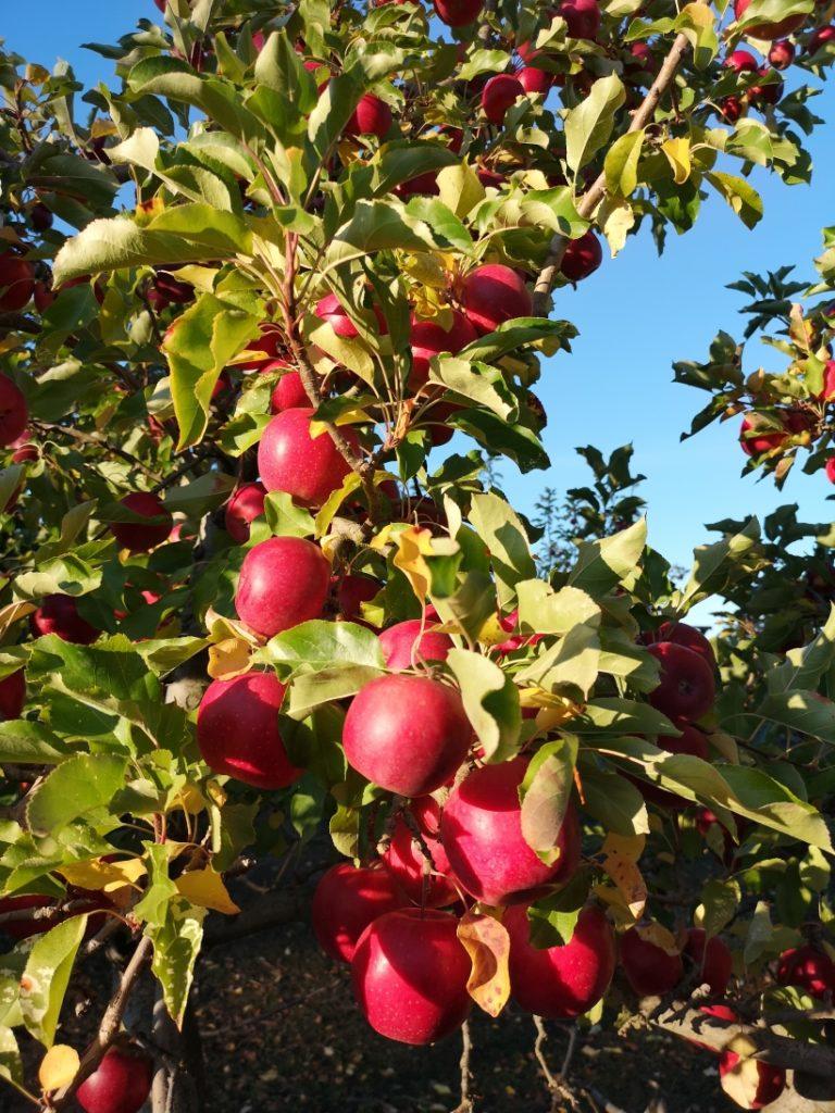 De belles pommes bien rouges