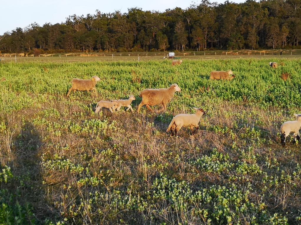 Des moutons au milieu des pommiers