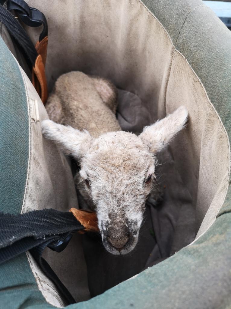 Un petit agneau perdu dans mon seau