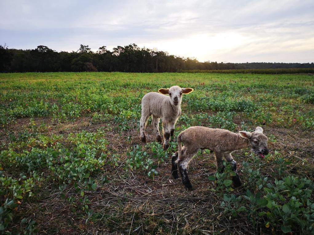 Le petit agneau a retrouvé son grand frère