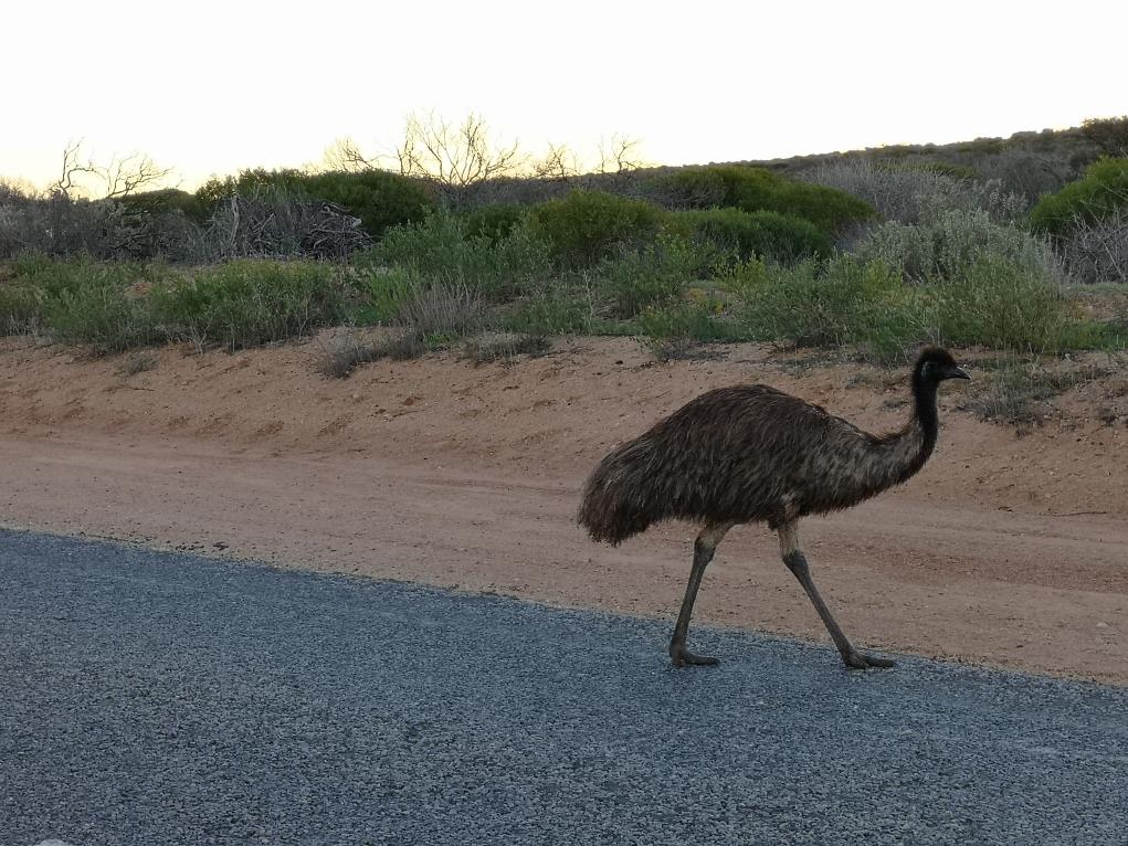 Un émeu qui traverse la route