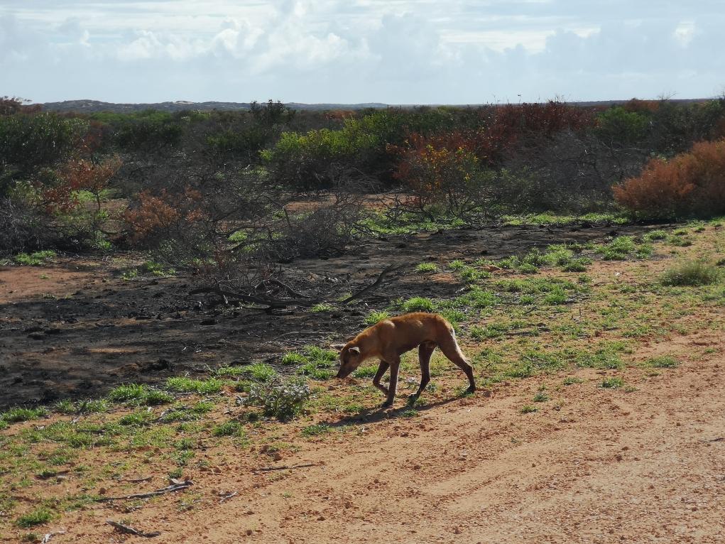 On aura aussi croisé un Dingo dans le parc national!
