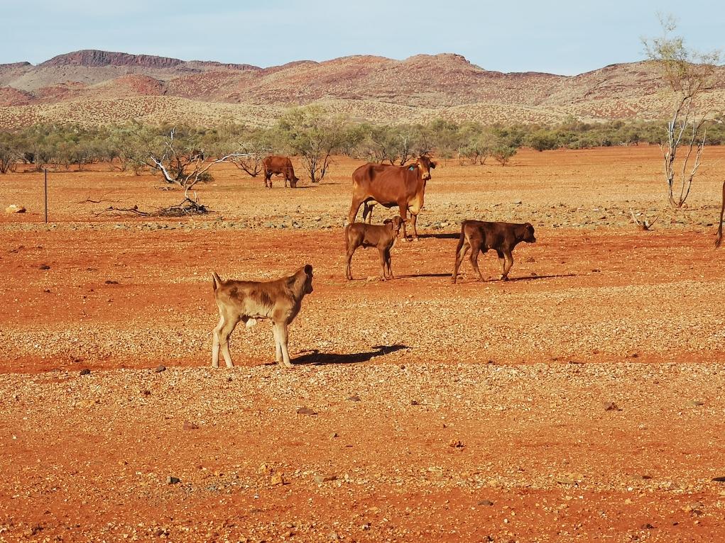 Des vaches prêtes à traverser en courant, de préférence devant le van