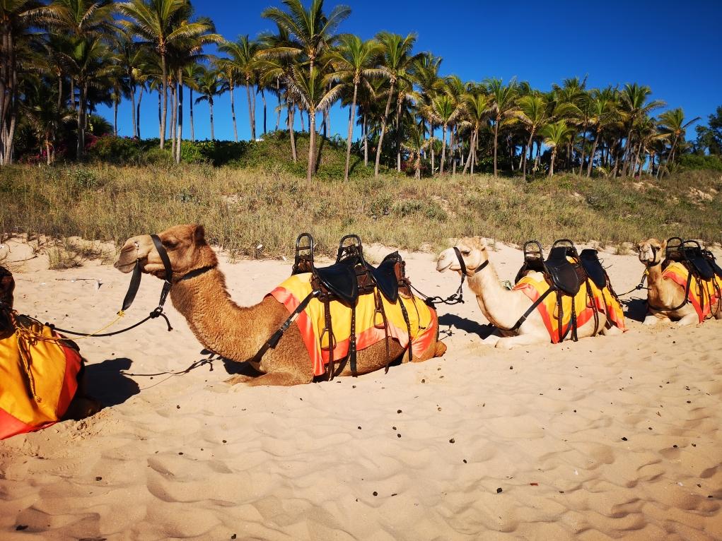 Dromadaires ou chameaux ? Camels!