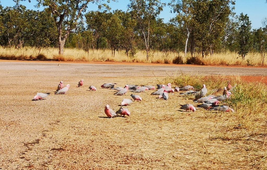 Un champ de Galah, des cacatoès gris et rose, au matin