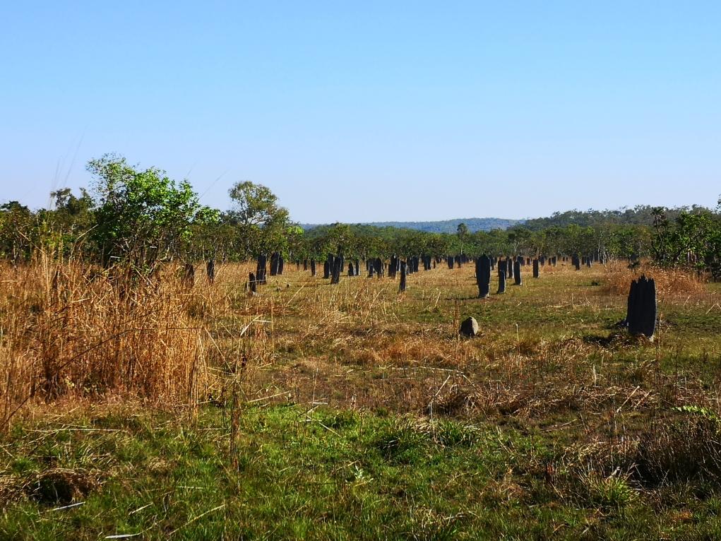 Un champ de termitières