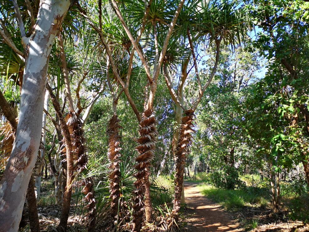 Des sortes de palmiers striés dans le parc Kakadu