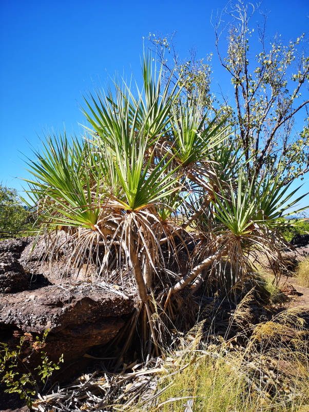Cette sorte de palmier avec des racines en-dehors du sol est un Pandanus