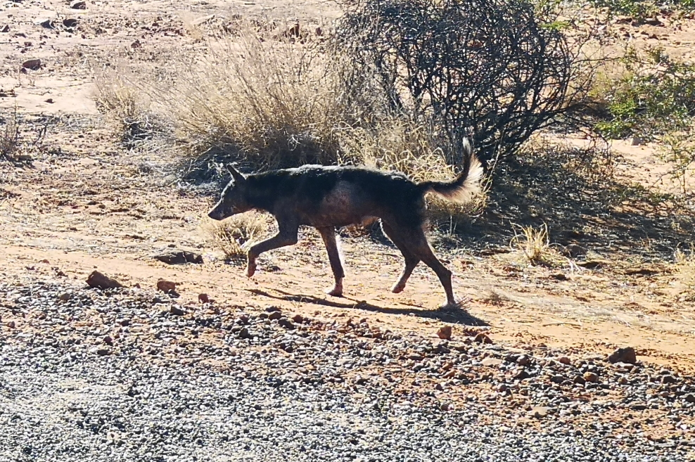 On a aperçu un dingo, il avait l'air plutôt mal en point