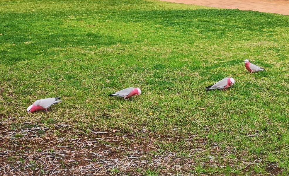 Des Galah sur une pelouse, cela faisait longtemps!