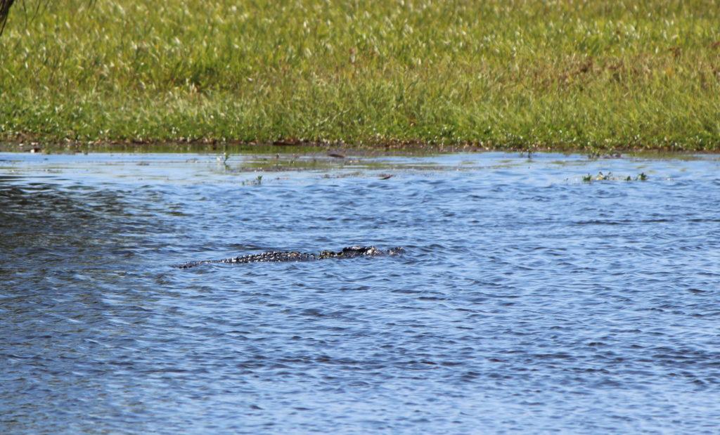 Oui, c'est bien un crocodile