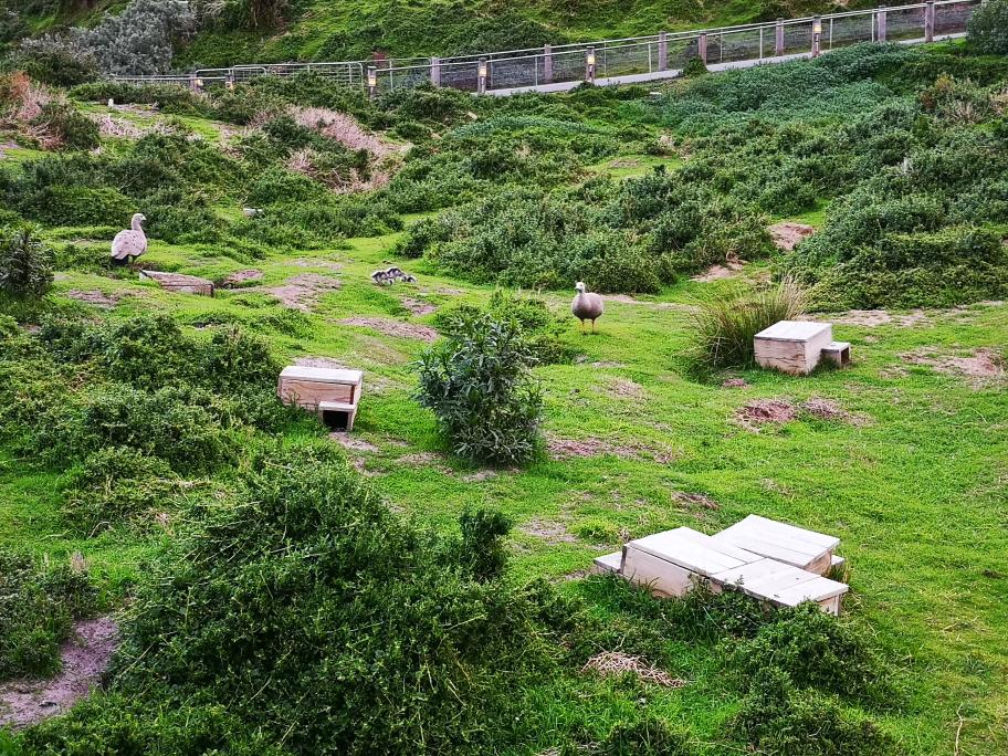 Des cabanes venues compléter les terriers que se font les pingouins