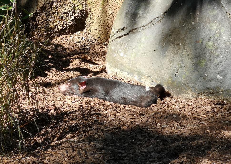 Un Diable de Tasmanie visiblement fatigué de sa nuit