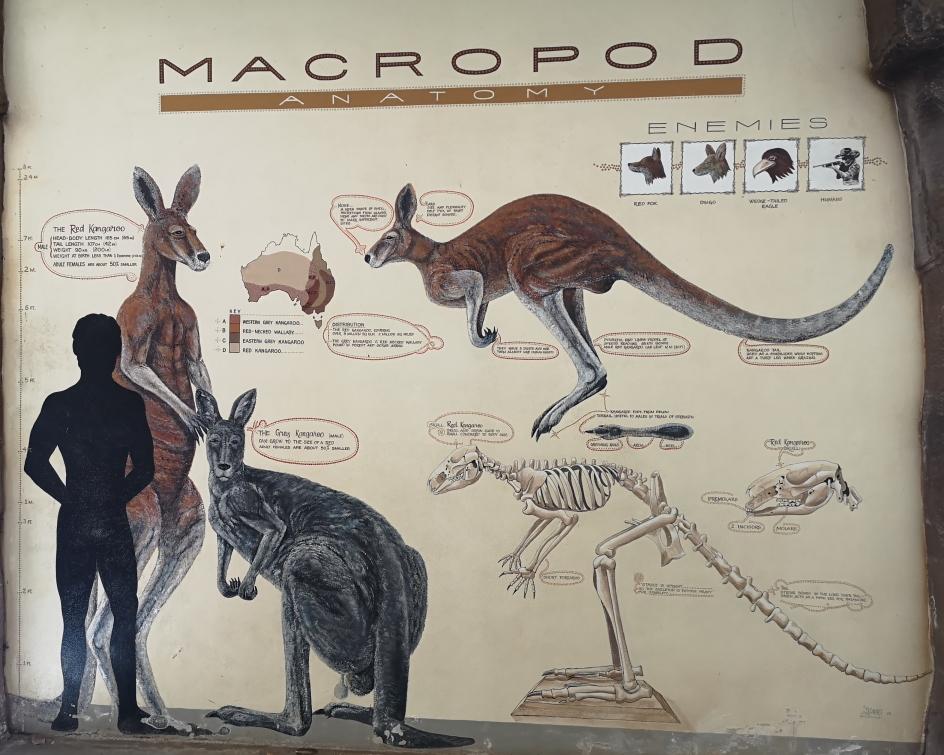 Une fresque montrant la taille des kangourous par rapport à celle de l'homme. Les grands kangourous roux peuvent mesurer jusqu'à plus de 2m!