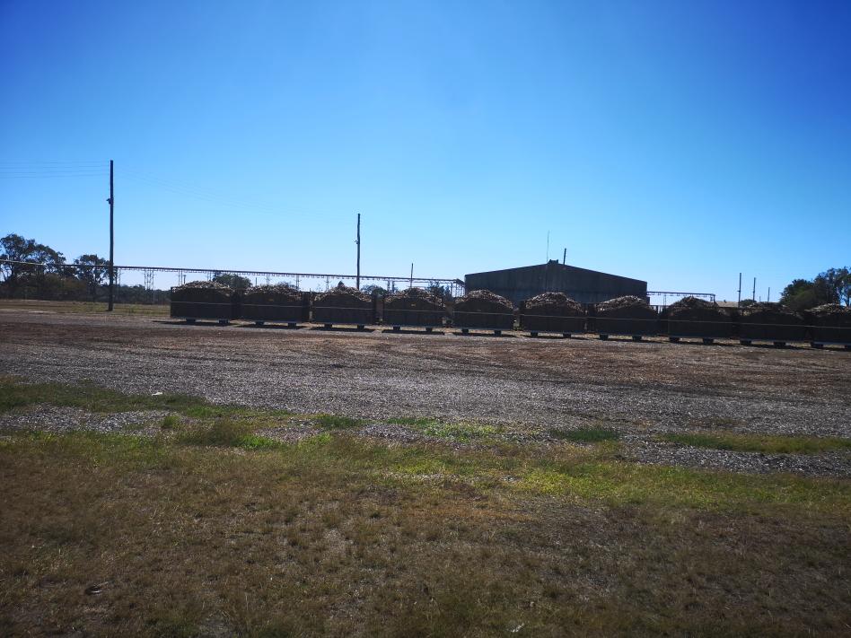La canne à sucre est transportée depuis les champs dans des longs trains assez fins