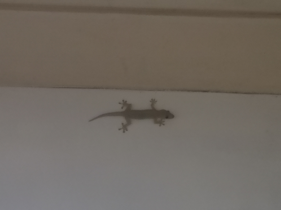 Un gecko, sorte de petit lézard avec des pattes en ventouses. Il aime bien entrer dans les maisons même s'il a peur de l'humain. Il se nourrit de moustiques, pratique!