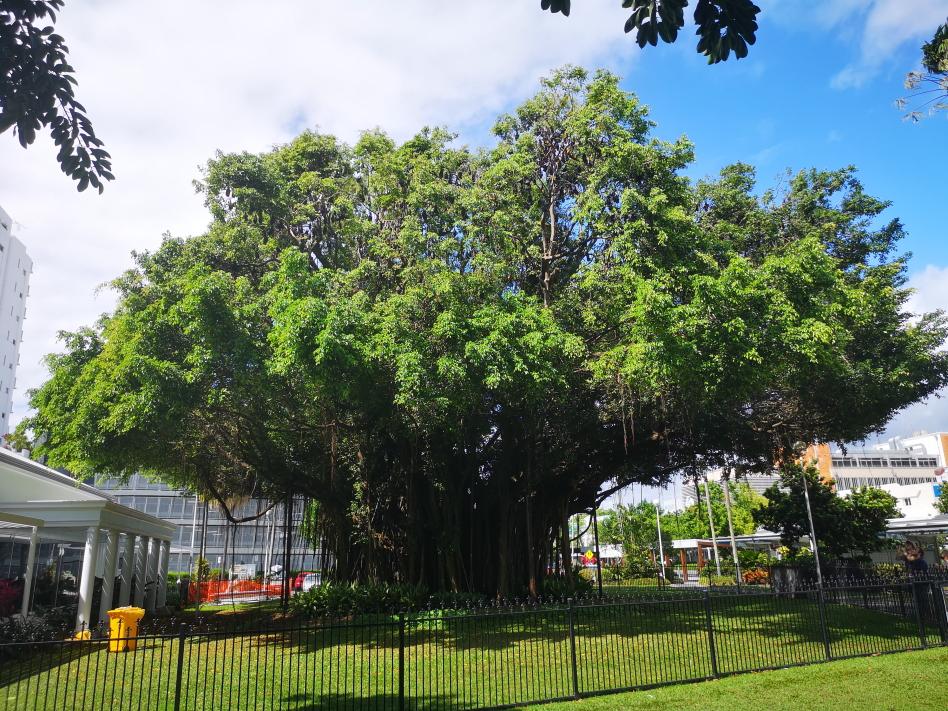 Un arbre magnifique dans les rues de Cairns: il est aussi rempli de chauve-souris géantes, comme rencontrées à Katherine, voir notre article précédent