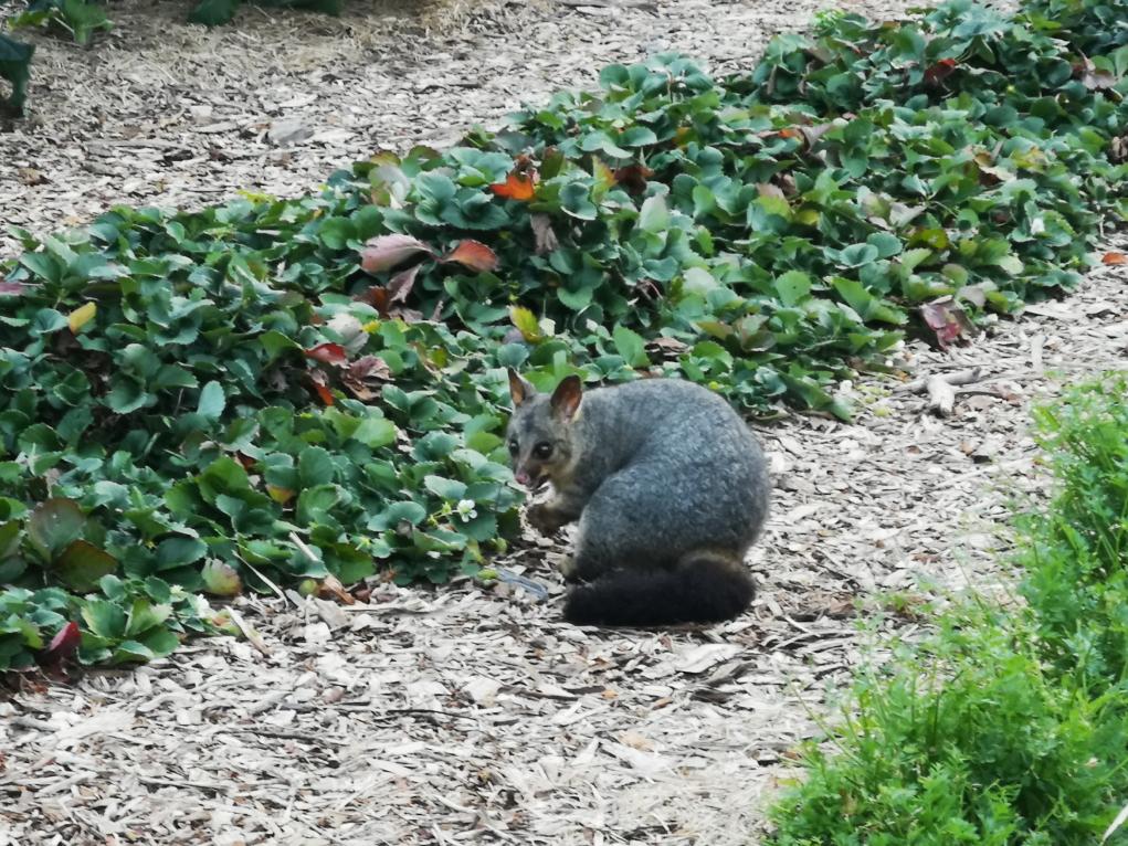Un possum au milieu des plantations du Botanic Garden