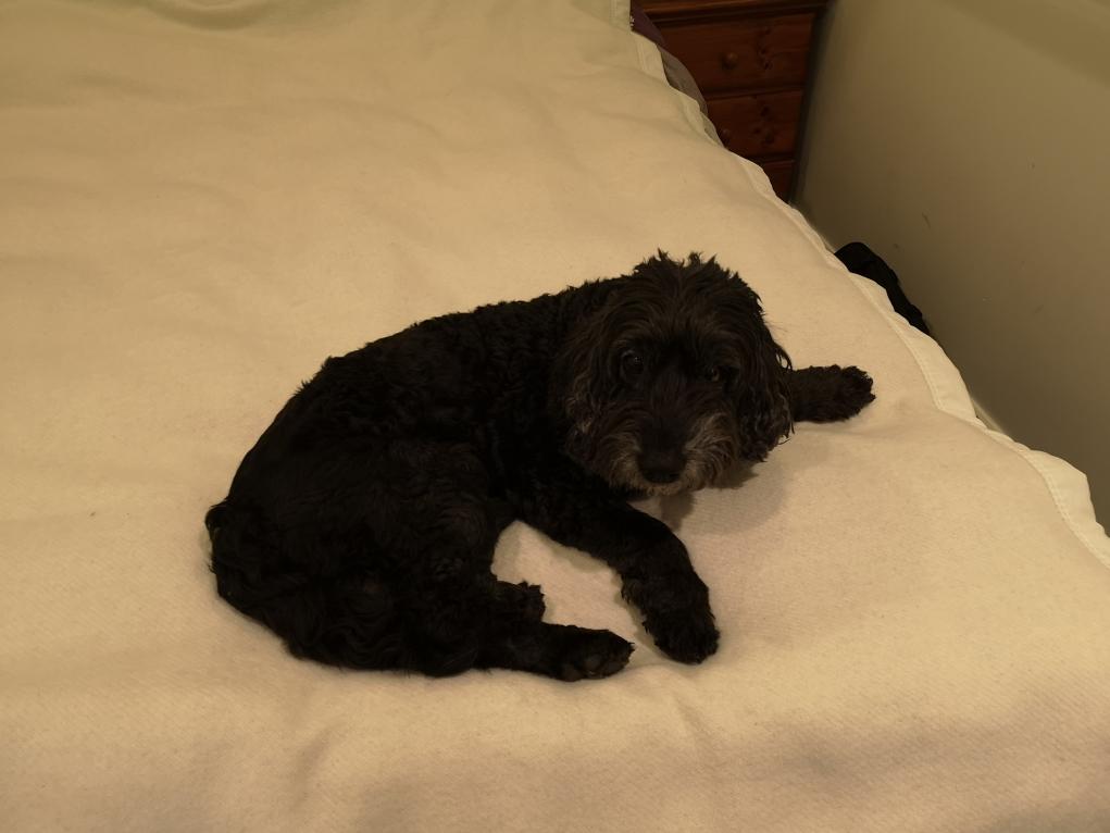 Danny boy qui nous fait les yeux doux pour dormir sur notre lit...
