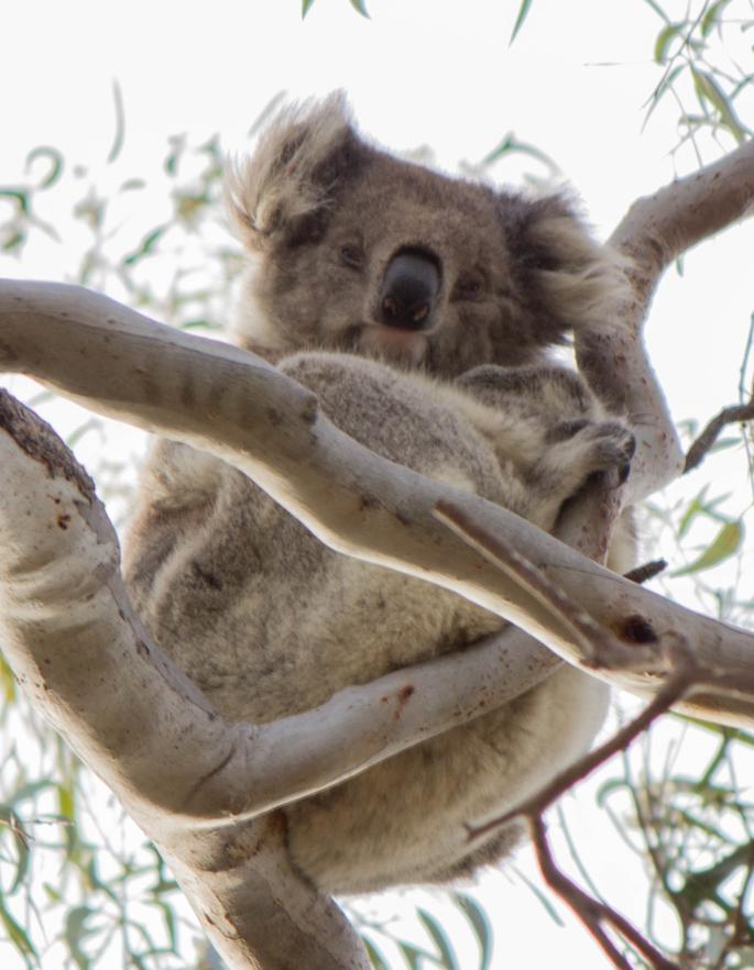 Un koala dans un arbre