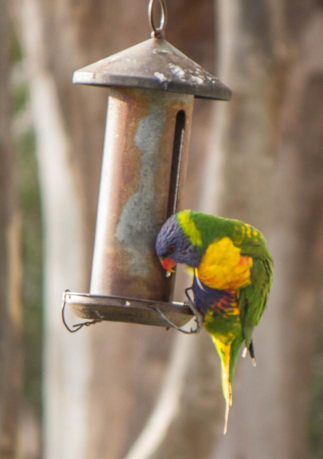 Un rainbow Lorikeet - L'oiseau arc-en-ciel!